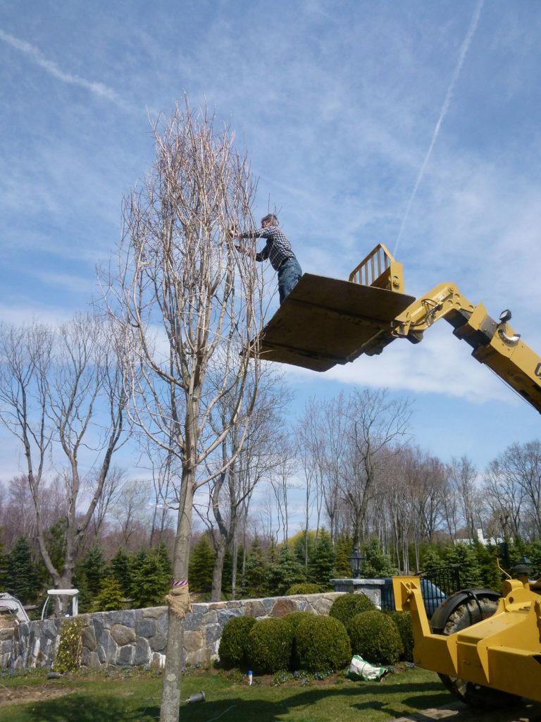 transplanting-large-trees-1