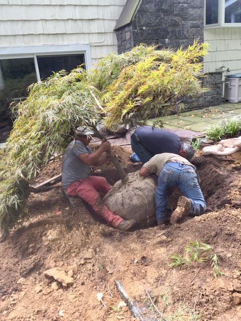 transplanting-large-trees-3