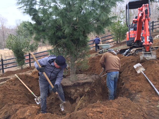transplanting-large-trees-4
