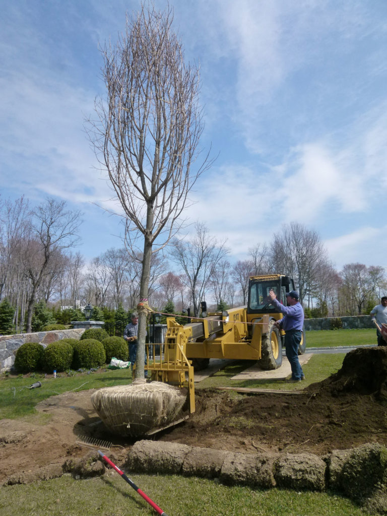 transplanting-large-trees-5