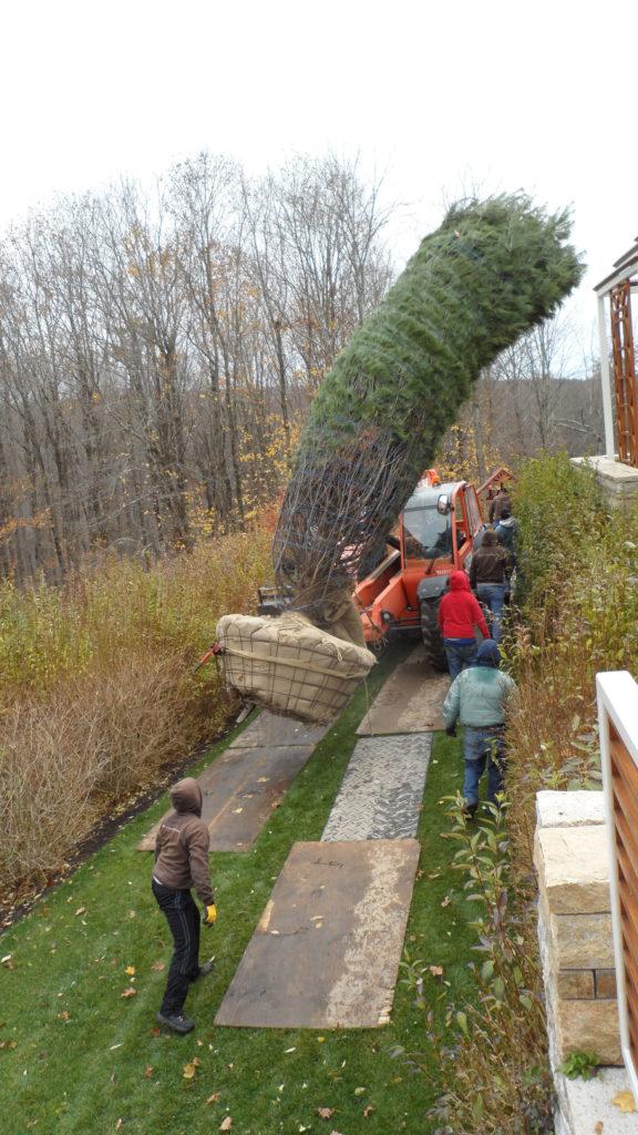 transplanting-large-trees-6